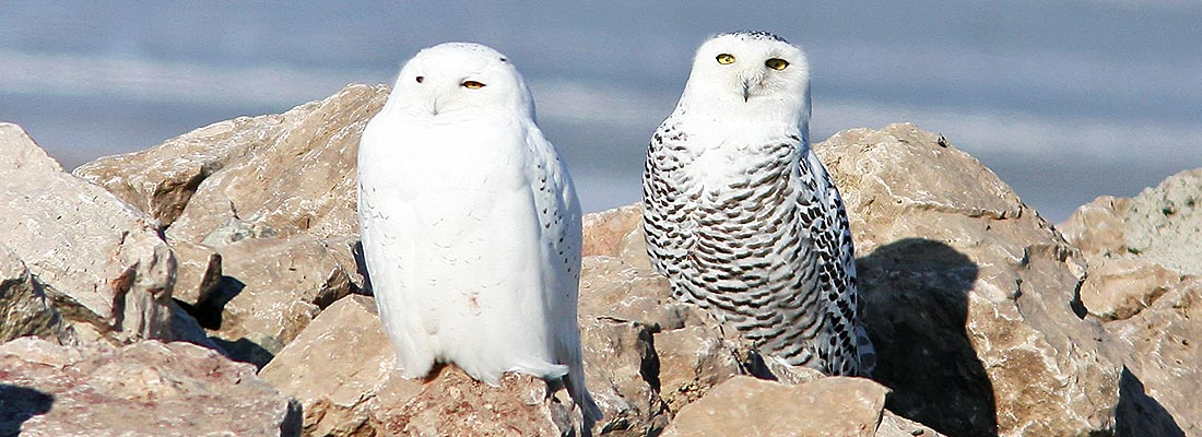 Snowy Owls Captured by Green Bay Conservation Partners in Wisconsin